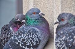 Primer de 3 palomas Imagen de archivo libre de regalías