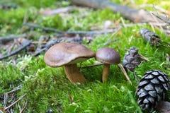 Primer de pares de pequeños boletos que crecen en piso del bosque del musgo verde, setas comestibles, otoño Imagen de archivo