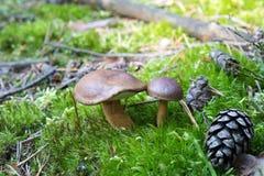 Primer de pares de pequeños boletos que crecen en piso del bosque del musgo verde, setas comestibles, otoño Imagen de archivo libre de regalías