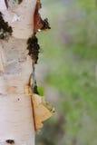 Primer de pelar el tronco de árbol de Aspen Foto de archivo libre de regalías