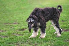 Primer de pelo largo elegante del perro del afgano fotografía de archivo libre de regalías