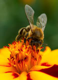 Primer de polinización de la flor de la maravilla de la abeja imagen de archivo libre de regalías