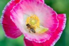 Primer de polinización de las flores de la abeja Foto de archivo