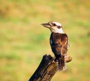 Primer de reír Kookaburra Foto de archivo libre de regalías