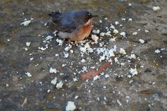 Primer de Robin Redbreast Eating Bread Crumbs fotografía de archivo libre de regalías
