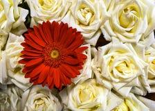 Primer de rosas blancas y de una margarita roja del Gerbera Foto de archivo libre de regalías