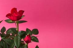 Primer de rosas rojas en un fondo rosado Espacio para el texto imágenes de archivo libres de regalías