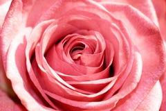 Primer de Rose Foto de archivo