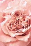 Primer de Rose Imagenes de archivo