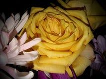 Primer de Rose amarilla Imágenes de archivo libres de regalías