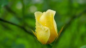Primer de Rose amarilla El movimiento de la cámara permite que usted considere una rosa por todos los lados almacen de metraje de vídeo