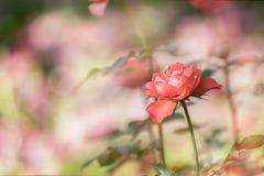 Primer de Rose en luz del sol Imagen de archivo libre de regalías