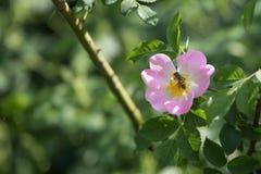 Primer de Rose de perro: Flor rosada con la abeja en ella Foto de archivo libre de regalías