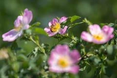 Primer de Rose de perro: Flor rosada con la abeja en ella Fotografía de archivo libre de regalías
