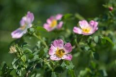 Primer de Rose de perro: Flor rosada con la abeja en ella Fotos de archivo