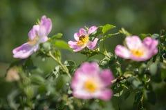Primer de Rose de perro: Flor rosada con la abeja en ella Foto de archivo