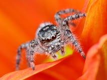 Primer de salto árabe de la araña con el fondo anaranjado de la flor imágenes de archivo libres de regalías