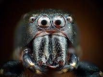 Primer de salto de la araña Imágenes de archivo libres de regalías