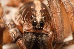 Primer de salto de la araña Foto de archivo libre de regalías