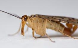 Primer de Scorpionfly Foto de archivo libre de regalías