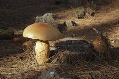 Primer de setas anaranjadas esféricas en un tocón del pino rodeado por las agujas y las piedras del pino fotografía de archivo