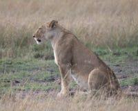 Primer de Sideview de la leona que se sienta en la tierra que mira todo derecho Imagen de archivo