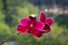 Primer de Sogo Relex de la orquídea del Phalaenopsis en un fondo verde Foto de archivo