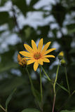 Primer de sola Daisy Flower amarilla en jardín botánico Imagen de archivo libre de regalías