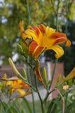 Primer de Tiger Lily anaranjado y amarillo Imágenes de archivo libres de regalías