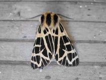 Primer de Tiger Moth Back aprovechado Imagen de archivo