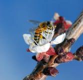 Primer de trabajo de la abeja Imagenes de archivo