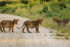 Primer de tres clubs de león que cruzan el camino que hace frente al fotógrafo Fotografía de archivo