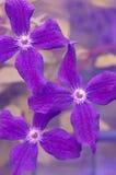 Primer de tres flores de la clemátide Foco selectivo Imagen de archivo