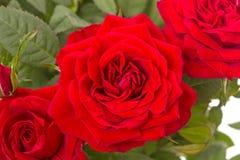 Primer de tres rosas rojas fotos de archivo libres de regalías