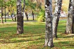 Primer de troncos de los árboles de abedul en parque Imagenes de archivo