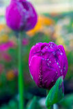 Primer de tulipanes púrpuras Imagenes de archivo