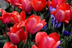 Primer de tulipanes rosados foto de archivo libre de regalías