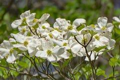Primer de un árbol de cornejo de florecimiento imagen de archivo