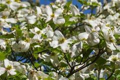 Primer de un árbol de cornejo de florecimiento fotografía de archivo libre de regalías