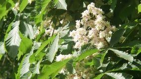 Primer de un árbol floreciente de la castaña Flores blancas de la primavera de la castaña, Lit por el Sun, fondo almacen de metraje de vídeo