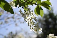 Primer de un árbol floreciente de la pájaro-cereza La cereza de pájaro florece en el día soleado, foco selectivo fotos de archivo