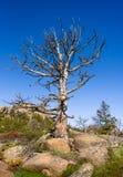 Primer de un árbol muerto en rocas, mucha altitud en el bosque de la montaña, cielo azul y fondo verde del bosque Destruido por e Foto de archivo