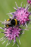 Primer de un abejorro caucásico amarillo-negro B Fotos de archivo