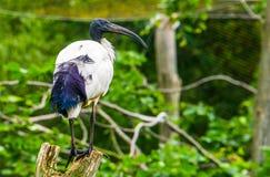 Primer de un africano Ibis sagrado que se sienta en un árbol, especie tropical del pájaro de África fotografía de archivo libre de regalías