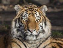 Primer de un altaica del Tigris del Panthera del tigre siberiano fotografía de archivo libre de regalías