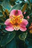 Primer de un amarillo y de una flor rosada imagen de archivo