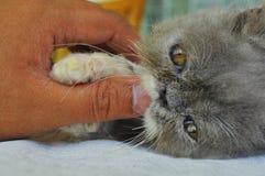 Primer de un asimiento persa del gatito de su propietario Fotos de archivo libres de regalías