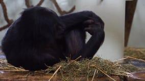 Primer de un bonobo, mono humano popular, chimpancé enano, especie animal en peligro de África almacen de video