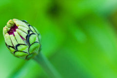 Primer de un brote de flor del zinnia Foto de archivo