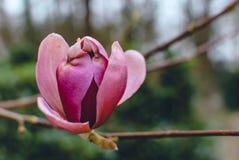 Primer de un brote rojo de la magnolia del latigazo en un brunch desnudo con el arboreto en el fondo fotografía de archivo